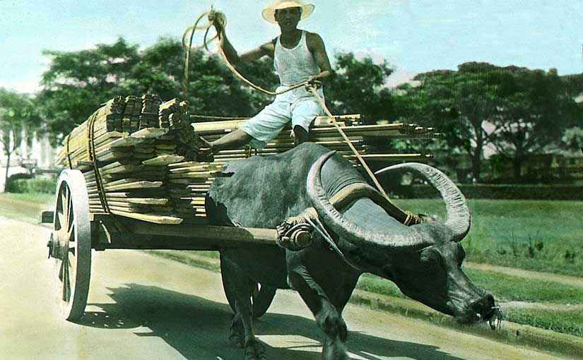 Carabao photograph from the University of Michigan Special Collections Library.