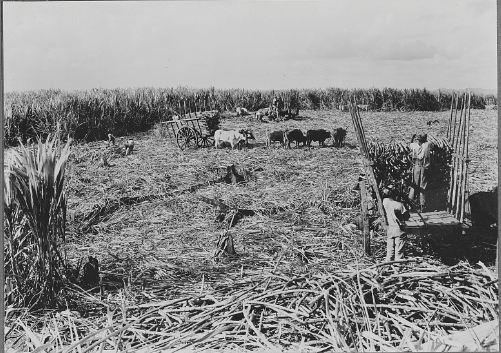 Hervesting sugar cane in the Dominican Republic, 1920.