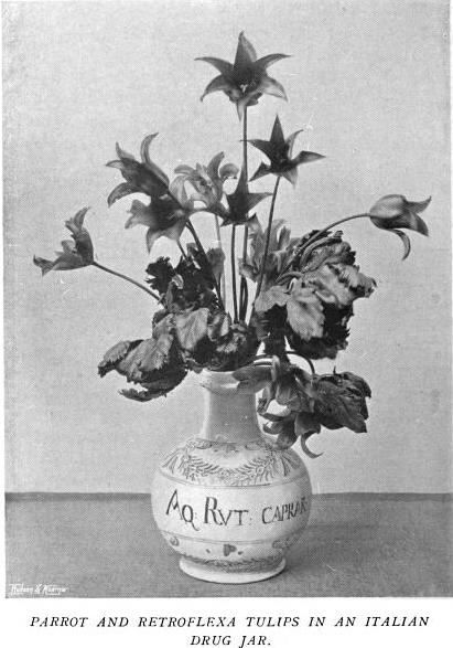 Parrot and Retroflexa Tulips in Italian Drug Jar