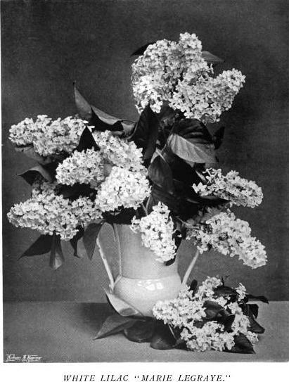 "White Lilac ""Marie Legraye"""